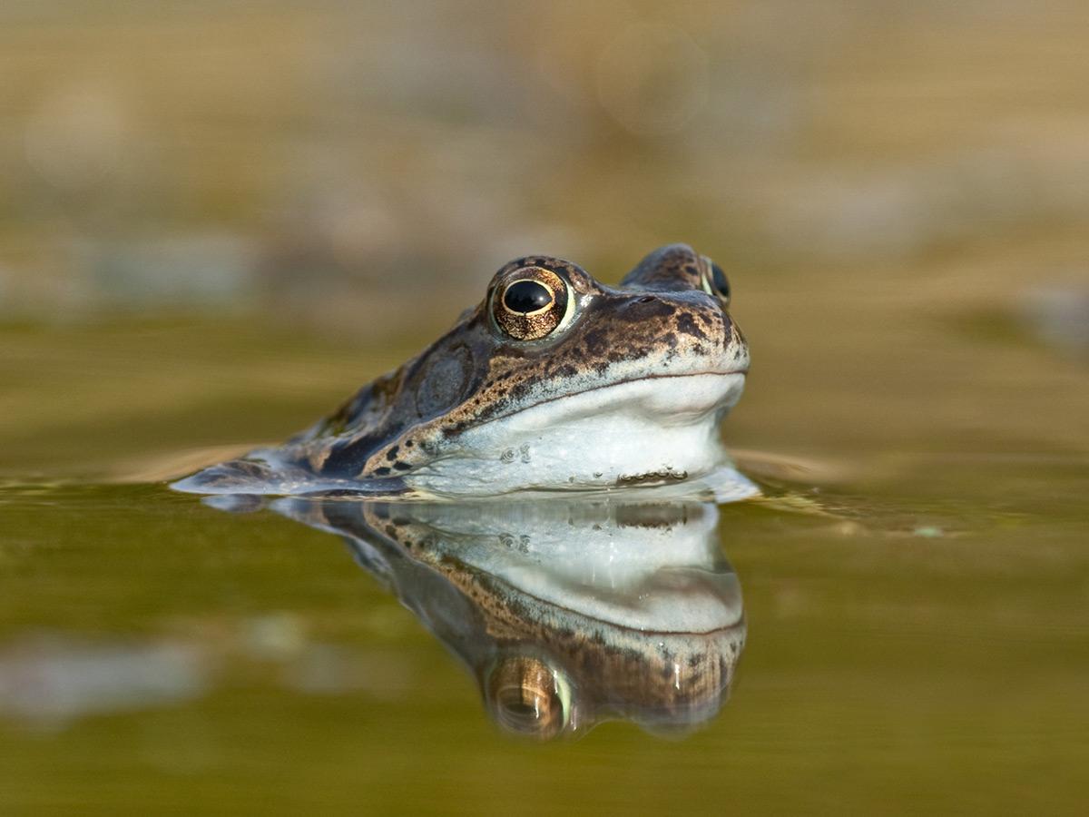 amphibian surveys