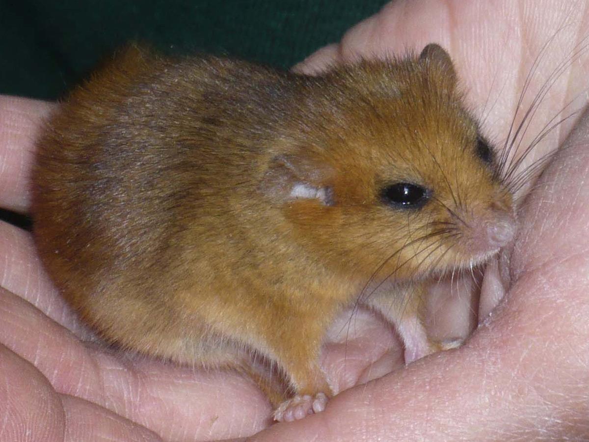 mice and small animal surveys