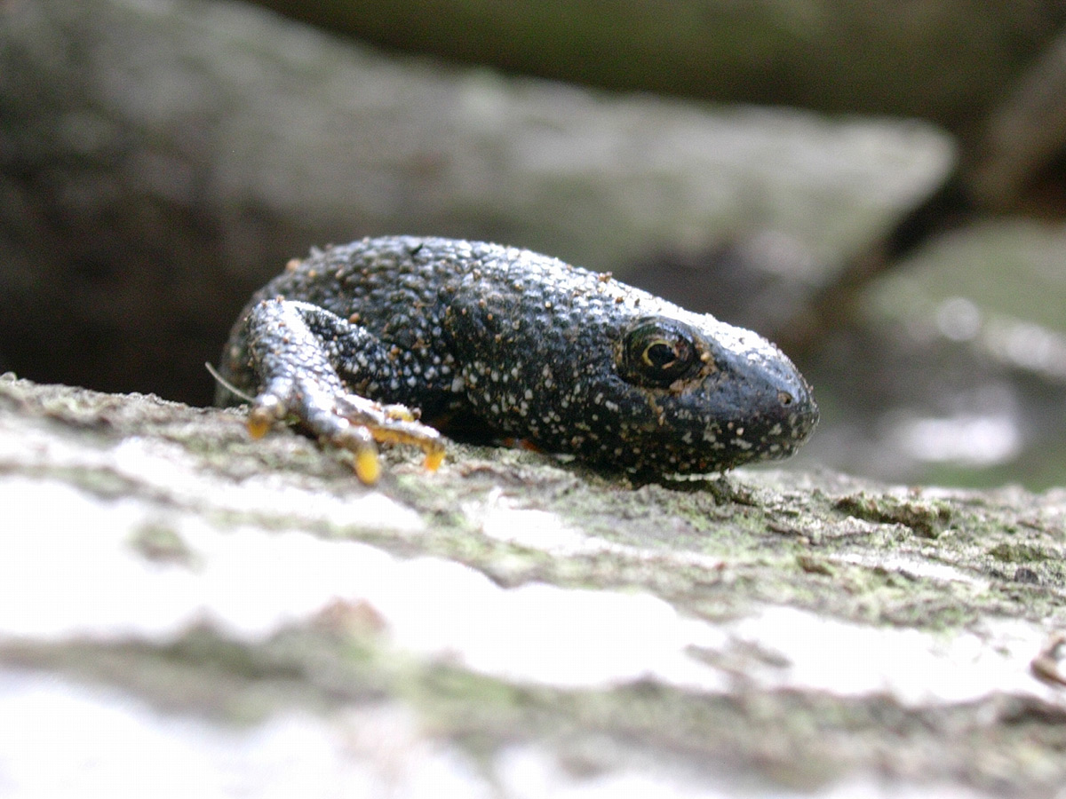 Protected newts