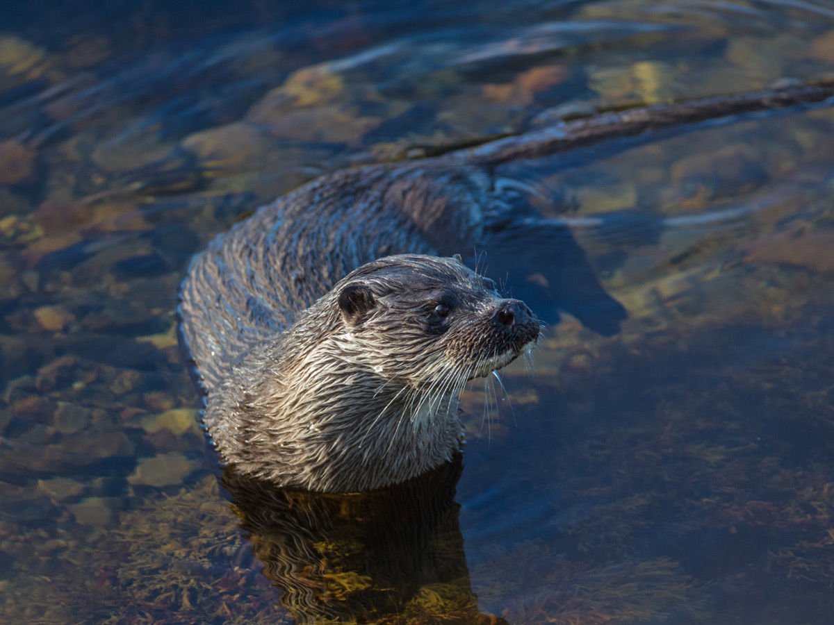 otter monitoring and habitat preservation